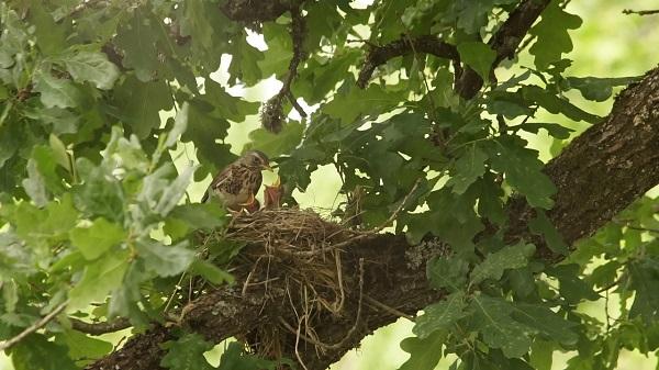 vairums putnu joprojam iesaistiti sugas turpinasanas procesos. c0713t01 2