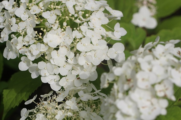 hortenzija balta