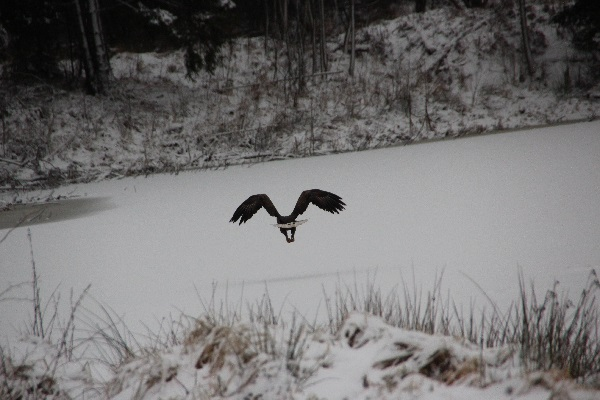 juras erglis pieaugusajiem putniem raksturiga ipasa pazime kosi balta aste IMG 5992 1
